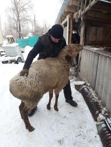 шредеры dsb с большой корзиной в Кыргызстан: Продаю кочкора. Возраст 1,8 года большой на племя. г.Кара - Балта