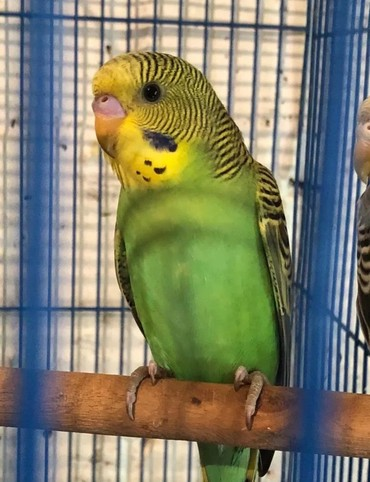 Птицы - Кок-Ой: Волнистые попугайчики хорошо приручаются к рукам и разговору