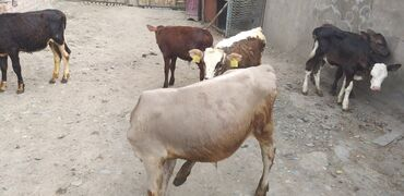 Животные - Гавриловка: Продаю телят оптом от 25 тыс до37 тыс сом.4 быка 2 телки