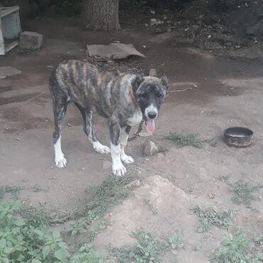 Животные - Таш-Мойнок: Продаю щенка порода Ала бай