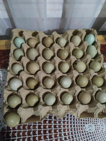 Iki gune 30 yumurta.temiz mayali qirqovul yumurtalari.rumun,qafqaz,ag