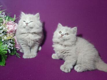 Шок цена!!!!  Дёшево  Британские котята. Фото настоящие!!!  . Хорош