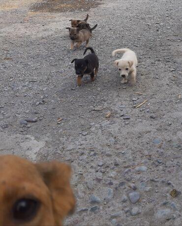 Животные - Орто-Сай: Отдам щенят в добрые руки! Есть серый, два чёрных, бурый и белый