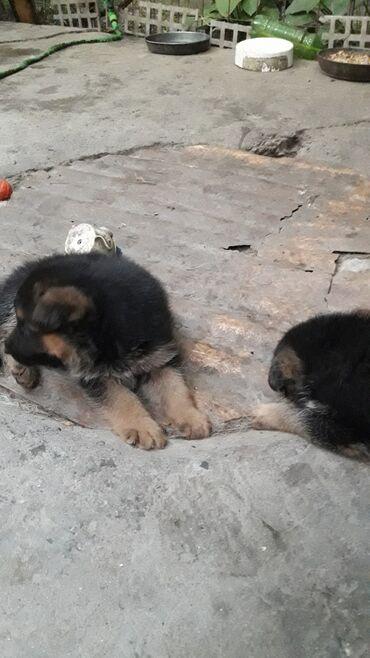 туры в анталию из бишкека 2021 в Кыргызстан: Продаю щенят немецкой овчарки.привиты,проглистованы,с отличной