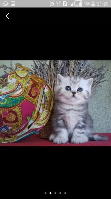 шотландская прямоухая в Азербайджан: Шотландские котята вислоухие и прямоухие от чистокровных родителей