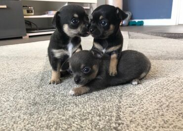 Όμορφα κουτάβια ChihuahuaΓλυκό & χαρούμενο & όμορφο &