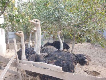 25 объявлений | ЖИВОТНЫЕ: Продаю страус. Тоокуш сатылат. 1 жаштан отту
