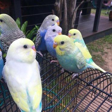 Попугаи разных возрастов Красивых окрасов  Находимся в 5 мкр