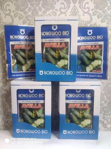 Куплю грунт - Кыргызстан: Семена: Огурцы Г.Авелла фирма NongWooBio(Корея)Очень раннеспелый