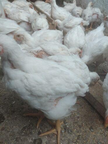 продажа цыплят в бишкеке в Кыргызстан: Продаю   Цыплята   Бройлерная