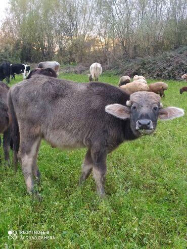 Животные - Агджабеди: С/х животные