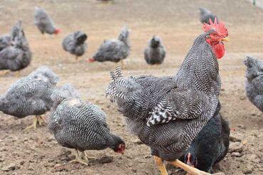 Продам шикарных породистых цыплят доминантов чёрно пёстрые,5 дней