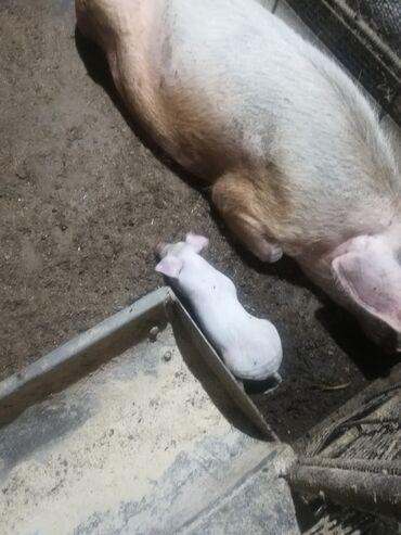 Животные - Луговое: Продаю поросят 1 месяц продаю свиноматок 2 опорос один мес до опорос