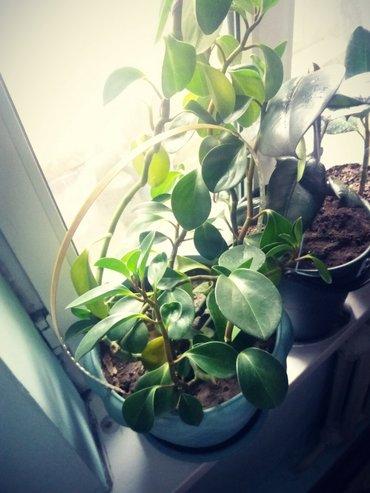 Паперомия туполистая. Вечно зеленое растения. 7 лет в Бишкек