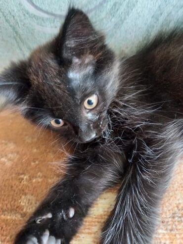 Животные - Кировское: Отдам замечательного котика в очень добрые руки! Проглистован, от блох