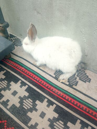 Декоративные кролики - Кыргызстан: Самочка Калифорнийский 2 месяца линия хомяк брали у Бека родители