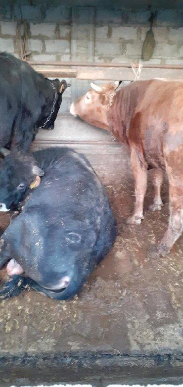 вес коровы в Кыргызстан: Быки на откорме на мяса через вес продам