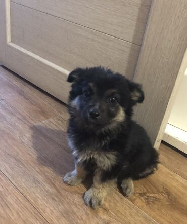 сколько стоит собака шпиц в Кыргызстан: Отдаём щенка в добрые руки. Девочка 2 месяца, будет средняя. Желательн