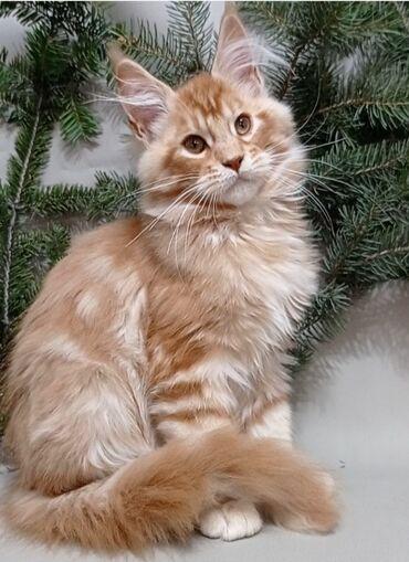 Коты - Кыргызстан: Продаются котята породы Мейн-кун