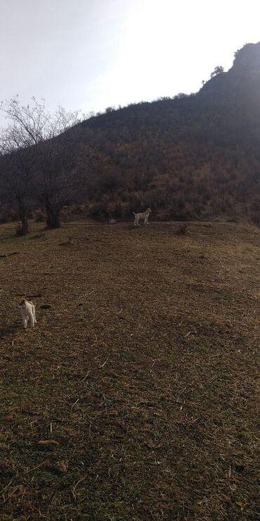 Для собачих бойов и охоты очень дружелюбный красавчик званите
