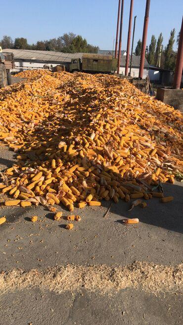 Продаю кукурузу сорт Майями, влажность 20%