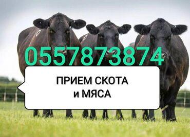 прием макулатуры бишкек адреса в Кыргызстан: ПРИЕМ СКОТА и вынужденного забоя коров, лошадей,телок и быков на