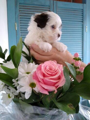 Убави кутриња од јорки на продажба Моето прекрасно куче роди прекрасно