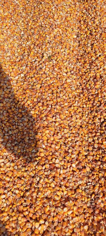 73 объявлений: Прадаю кукуруза красна дарь 20 тона цена 21 сом килограм