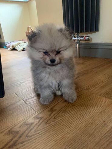 Πώληση κουτάβια PomeranianΚουτάβια Pomeranian διαθέσιμα για