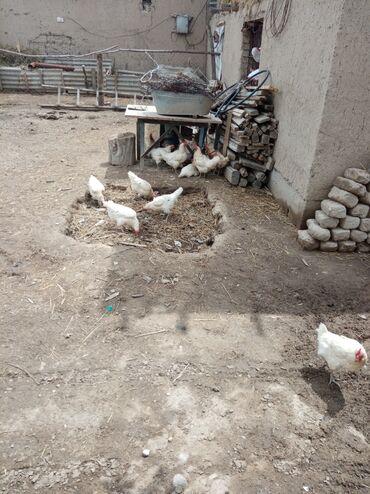 Животные - Кочкор: Продаю кур несушек хайлайн соня годовалый с января несут ся 55кур