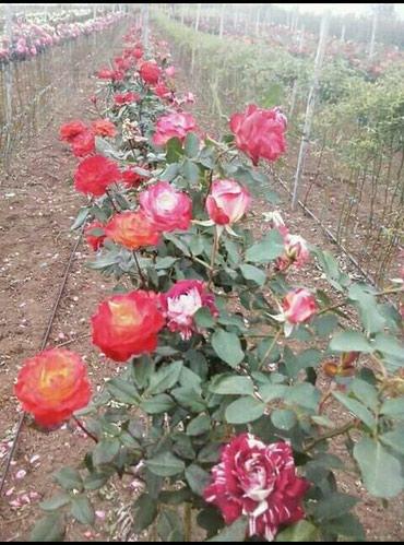 Trobojne sadnice ruža stablašica za samo 700 din po kom za više - Belgrade
