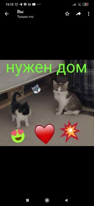 Коты - Кыргызстан: Друзья !!! Красивые. Котята срочно ищут новый любящий. ответственный