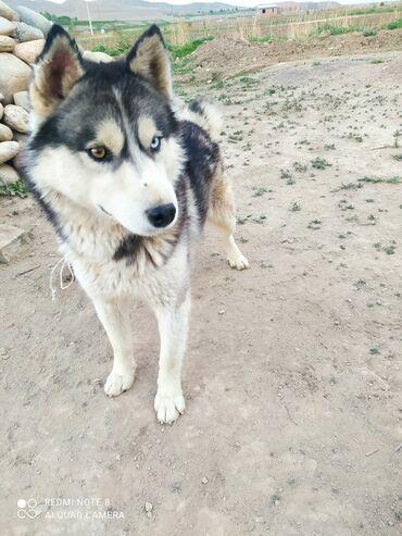 Животные - Боконбаево: Собаки
