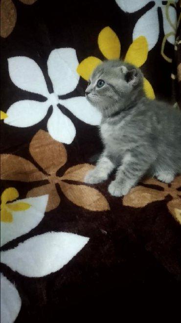 шотландская прямоухая в Азербайджан: Шотландский вислоухий котенок мальчик