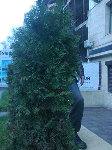 Обрезка и обработка деревьев. продажа саженцов плодовых деревьев в Бишкек
