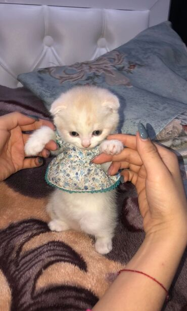 Коты - Кыргызстан: Продается котенок шотландской пароды двухмесячный и к лотку приучен