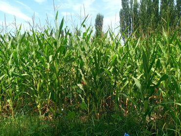 Работа - Джалал-Абад: На поле кукурузы требуеться косильщик сдельная оплата Талага мака орго