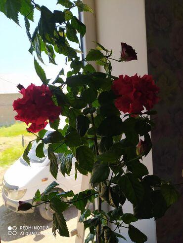 Комнатные растения в Кок-Ой: Продаю Светы китайский роза. И другие