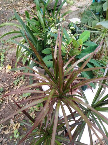 Комнатные растения в Кок-Ой: Драцена, неприхотливое растение, располагать её на восточных или