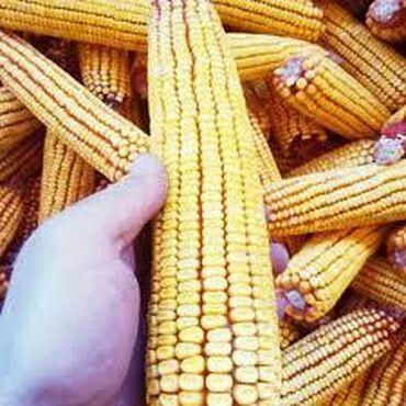 """Семена и уличные растения - Кыргызстан: Продается кукурузу гибридного сорта """" Будан"""". Первая репродукция. Без"""