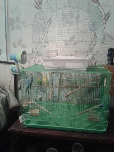 Две клетки и три попугая