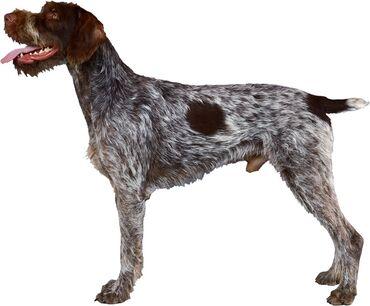 ара в Кыргызстан: Пропала охотничья Собака породой Дратхаар в районе Сокулука в селе
