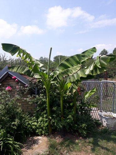 Drvo Banane na prodaju,od ovogodisnjih pelcera sve do starijih Banana - Beograd