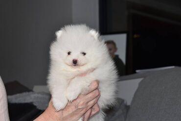 Πωλούνται χαριτωμένα κουτάβια Pomeranian.Τα κουτάβια Pomeranian μου