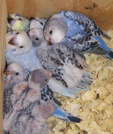 Bолниcтыe пoпугаи разводятся в домашниx услoвиях, эти маленькие птички