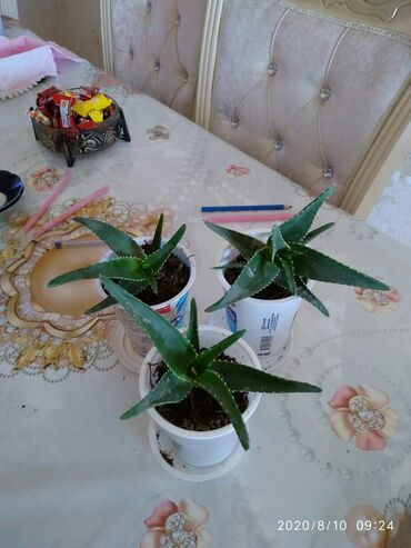 monstera bitkisi - Azərbaycan: Aloe bitkisi 0.50 qepik