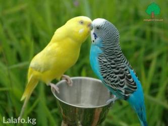 Волнисиые попугайчики в Кок-Ой