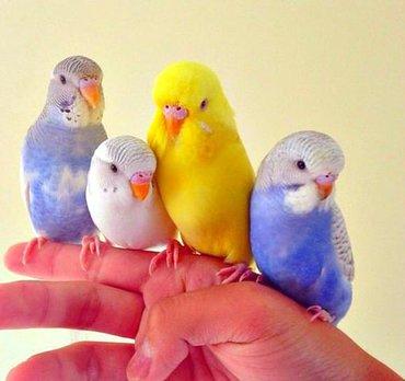 Волнистые попугайчики хорошо учатся говорить и приручаются к рукам. А
