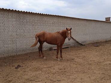 Животные - Буденовка: Куплю | Лошади, кони