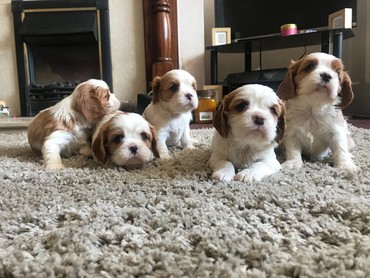 Cavalier King Charles Spaniel Dogs and Puppies for sale  σε Galatista